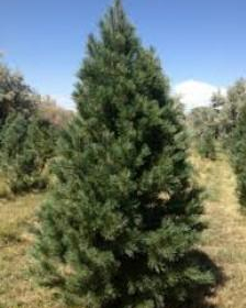 Pine/ Southwestern White