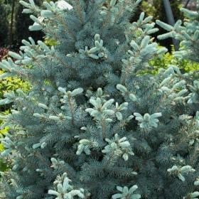 Spruce/ Baby Blue