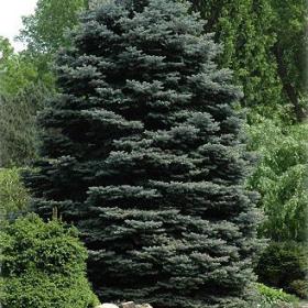 Spruce/ Fat Albert