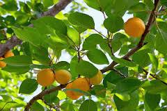 Apricot / Sungold