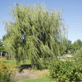 Willow/ Niobe Weeping