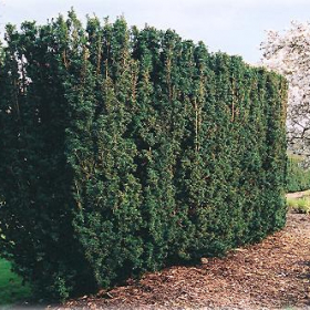 Yews/ Hicks (Upright)