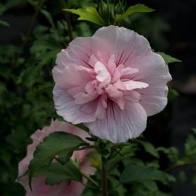Althea/ Pink Chiffon
