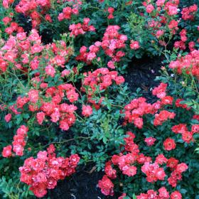 Groundcover Rose/ Red Drift