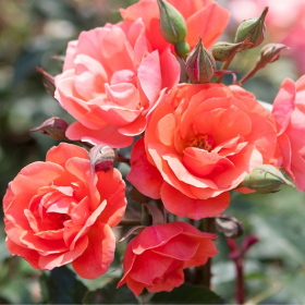 Shrub Rose/ Coral Knock Out