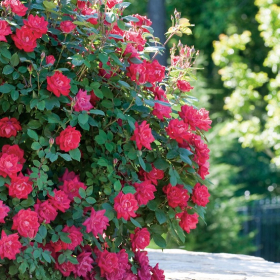 Shrub Rose/ Double Knock Out