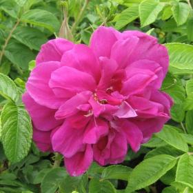 Rugosa Rose/ Hansa